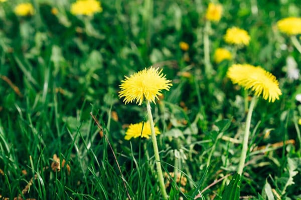 Importance of Dandelion for Cancer patients
