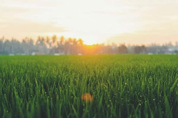 Can wheatgrass help in Cancer treatment?